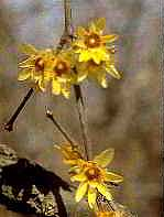 Macasar (Chimonanthus fragans)